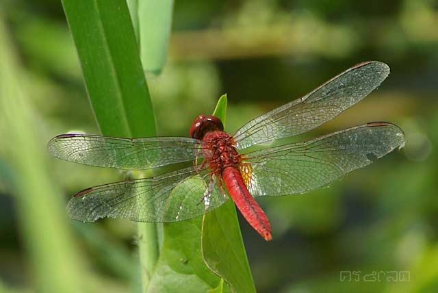 ตัวที่2 แมลงปอบ้านบ่อ ตัวผู้ Crocothemis servilia