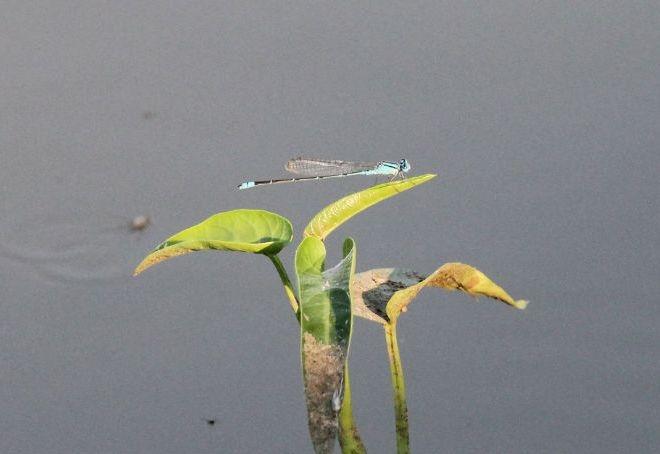 แมลงปอเข็มบ่อฟ้าเล็ก