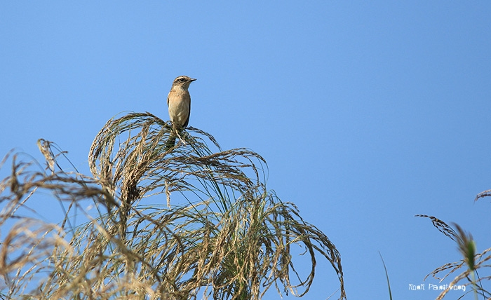 นกสีน้ำตาลเล็กๆ จ้างก็ไม่ ID