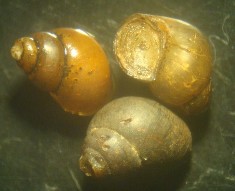 bithyniidae