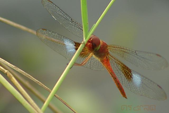 ตัวที่20 แมลงปอบ้านจุดน้ำตาลขาว ตัวผู้ Tholymis tillarga