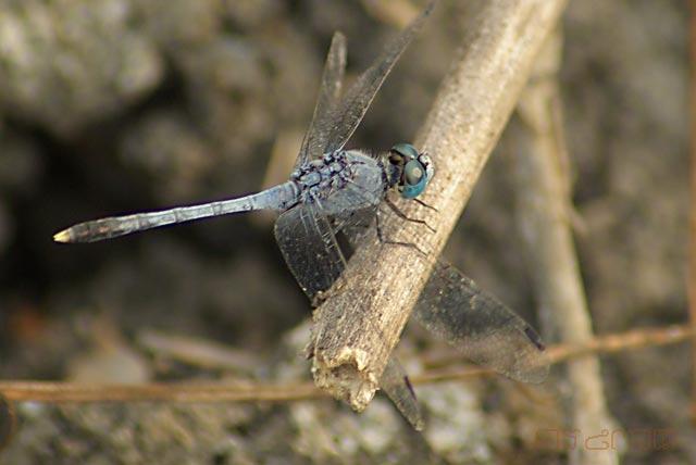 ตัวที่11 แมลงปอบ้านคู่เขียวฟ้า ตัวผู้ Diplacodes trivialis