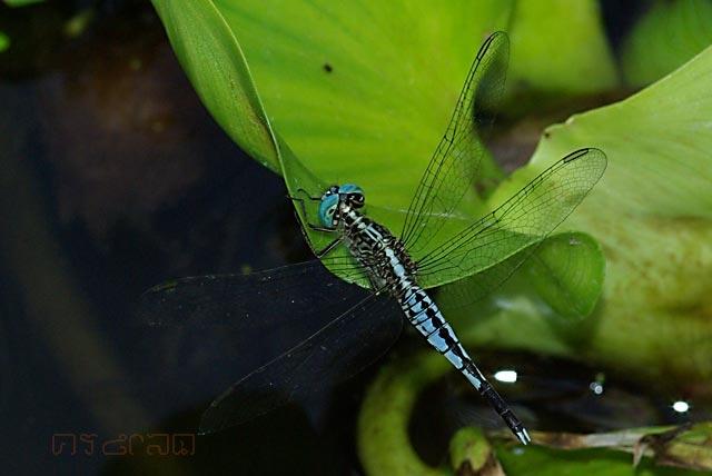 ตัวที่13 แมลงปอบ้านก้นกระเปาะ ตัวผู้ Acisoma panorpoides