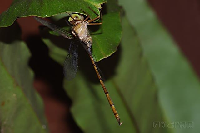 ตัวที่17 แมลงปอบ้านก้านยาว ตัวผู้ Zyxomma petiolatum
