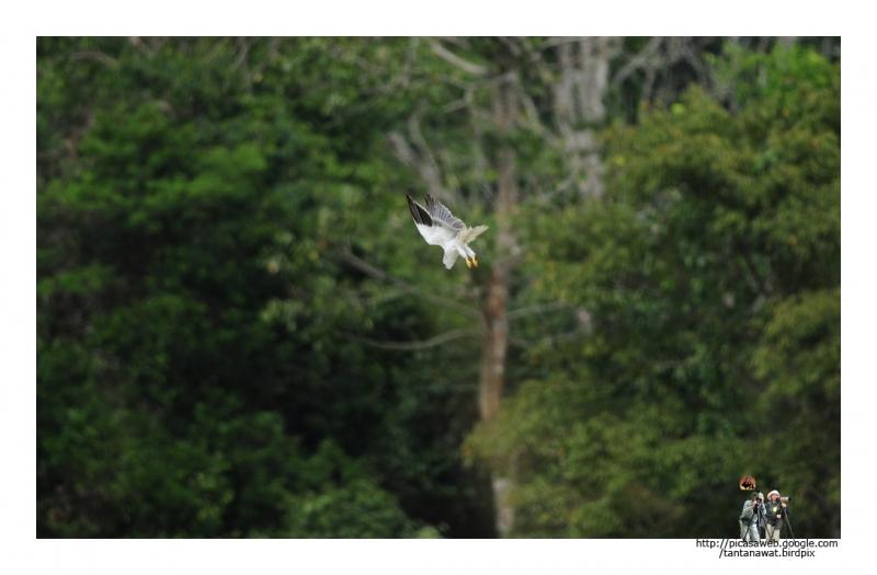 black-shouldered-kites