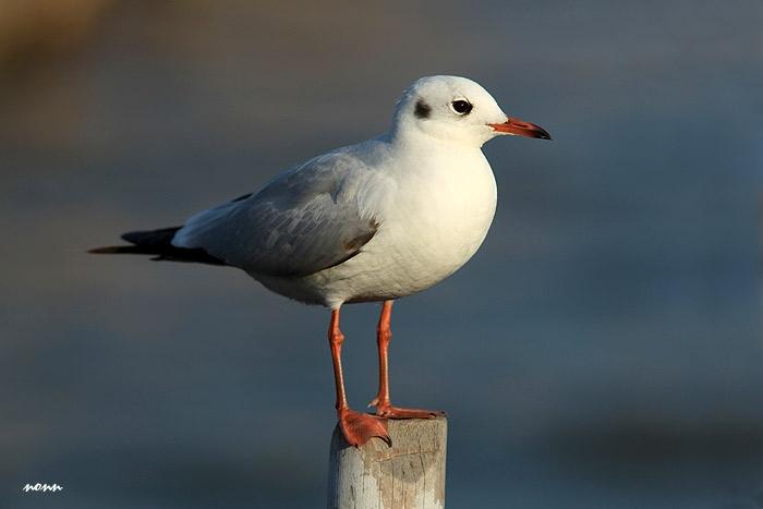นางนวลขอบปีกขาว ตัวเล็กกว่านางนวลธรรมดา ปากแหลมกว่า