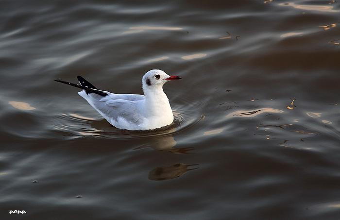 นางนวลขอบปีกขาว ตัวนี้โตเต็มวัย