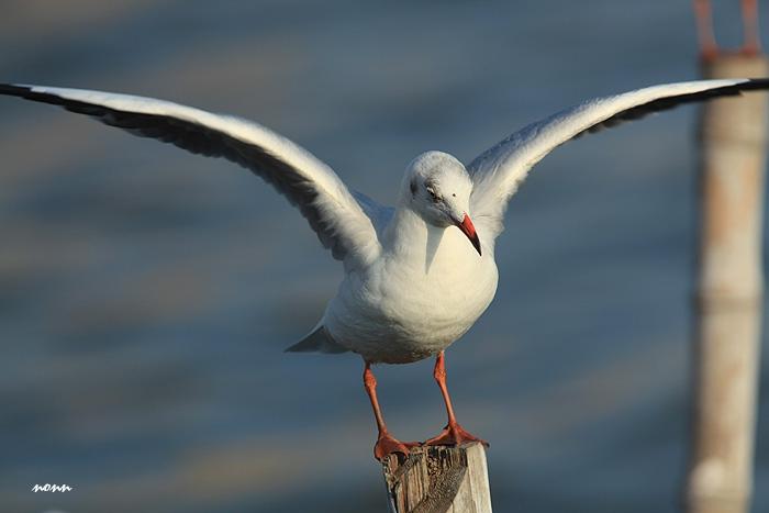 นางนวลขอบปีกขาว