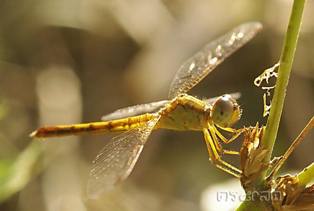 40. แมลงปอบ้านใหม่ปลายใส Neurothemis intermedia atalanta Ris, 1919