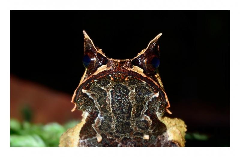 bornean-horned-frog_3.jpg