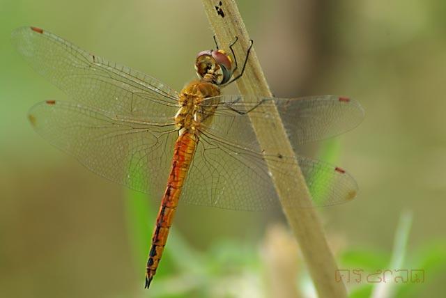 ตัวที่14 แมลงปอบ้านแผ่นปีกกว้าง ตัวผู้  Pantala flavescens