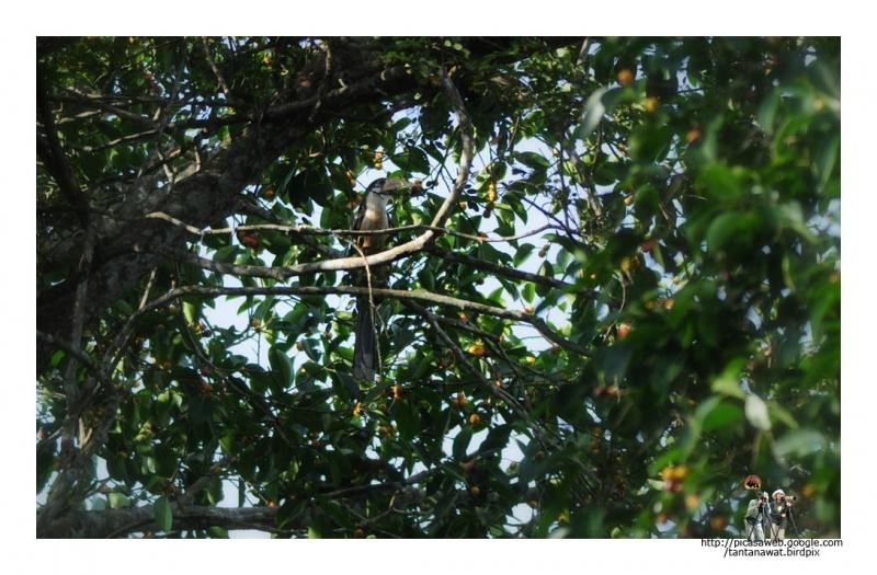 brown-hornbill