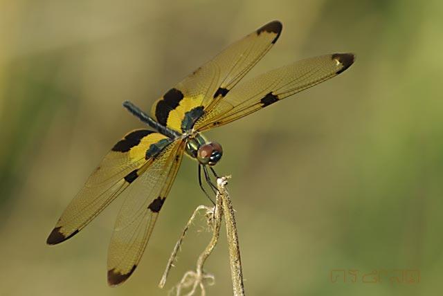 ตัวที่9 แมลงปอบ้านไร่ปีกทอง ดูไม่ออกว่าเพศใด Rhyothemis phyllis