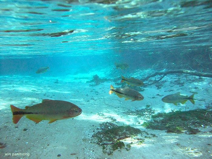 ฺBrycon hilarii เป็นปลาใหญ่ที่เจอเยอะที่สุด
