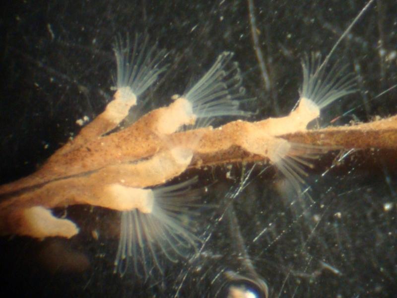 Bryozoa ชนิดที่ 1