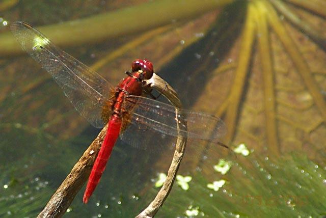 ตัวที่3 แมลงปอบ้านสันหลังเหลือง ตัวผู้ Rhodothemis rufa