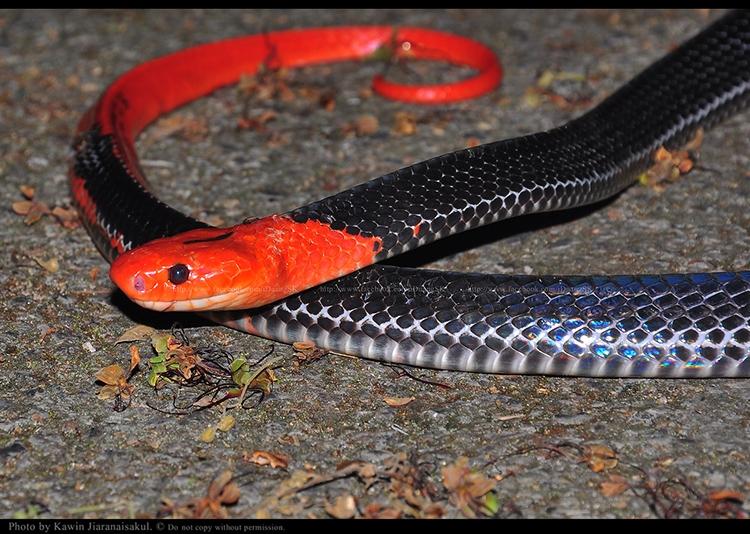 งูสามเหลี่ยมหัวแดง Bungarus flaviceps