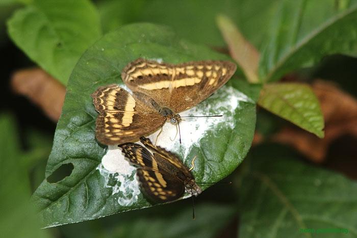 butterfly_brown.jpg