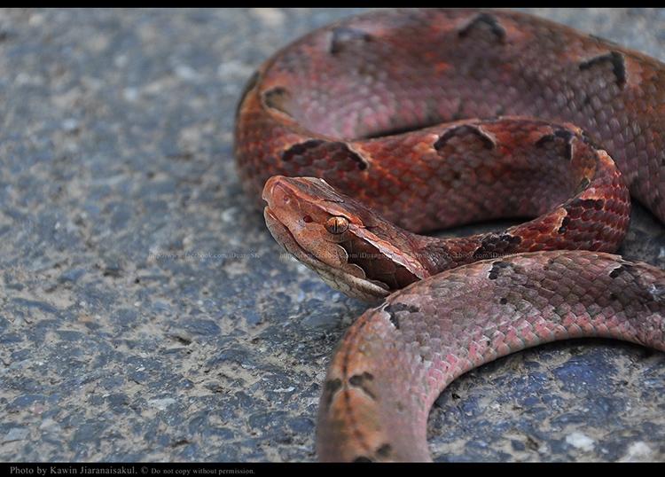 งูกะปะ Calloselasma rhodostoma