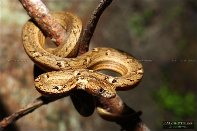 งูหมอก