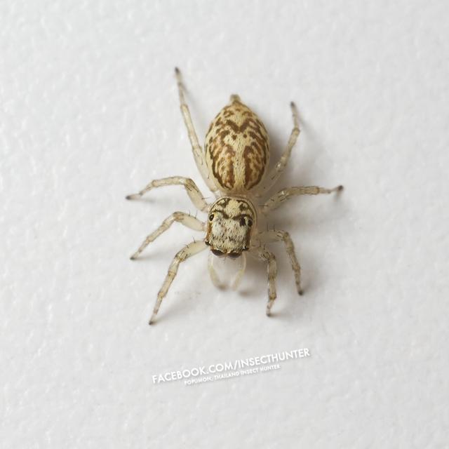 chrysilla_versicolor-female-5mm-srinakarin-bkk-30-10-11.jpg