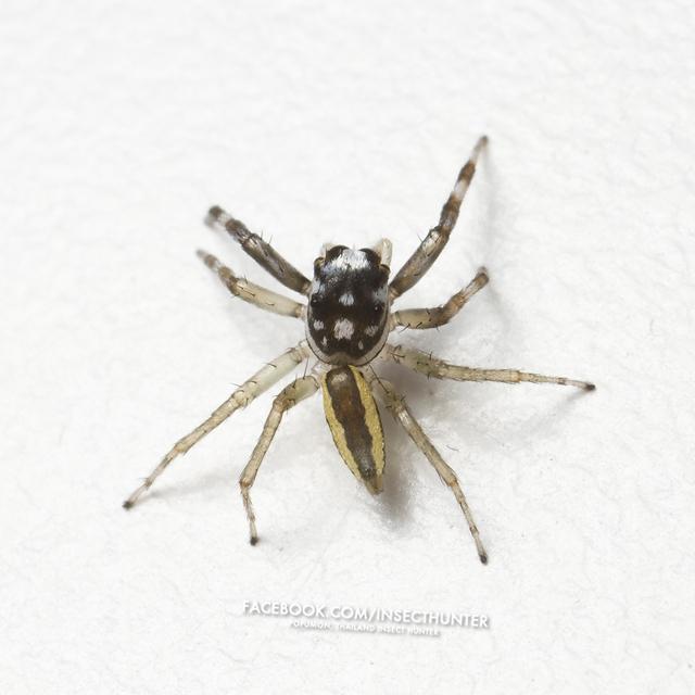 chrysilla_versicolor-male-4.5mm-srinakarin-bkk-30-10-11.jpg
