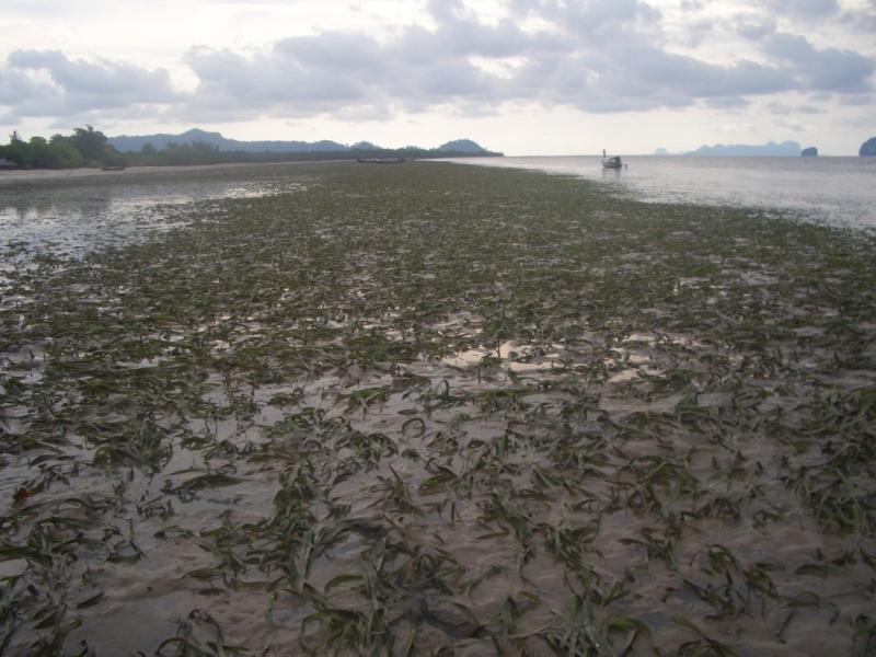 ดงหญ้าทะเล