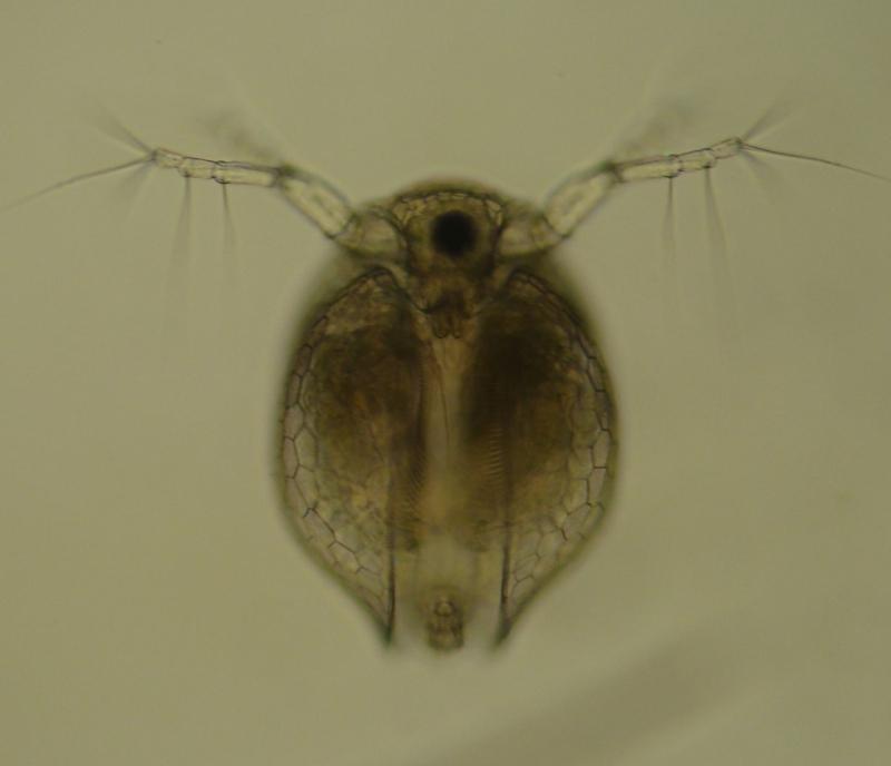 Daphniidae ด้านหน้า