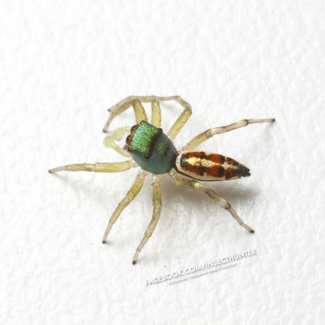 cosmophasis_umbratica-cu001-3-male-5mm-jomtong-bkk-23-10-11.jpg