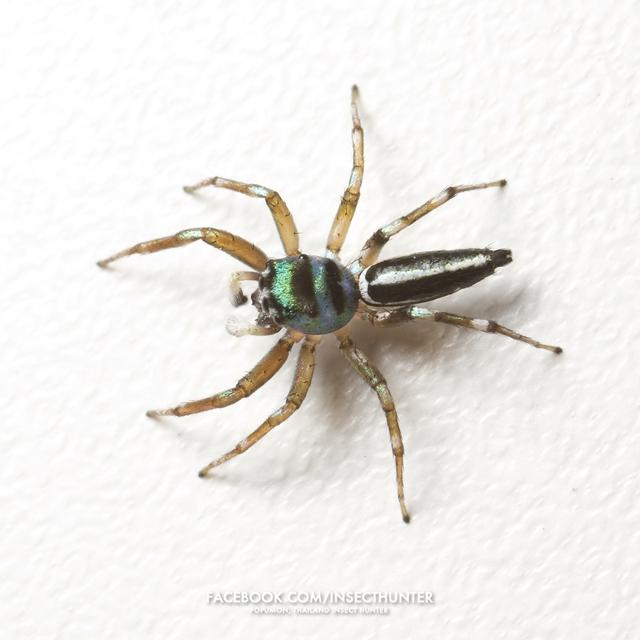 cosmophasis_umbratica-male-6mm-jomtong-bkk-23-10-11.jpg
