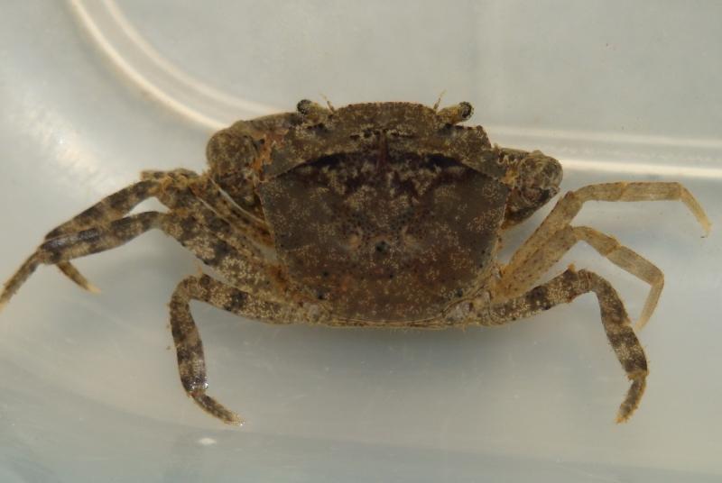 Family Gecarcinucidae - Siamthelphusa sp.