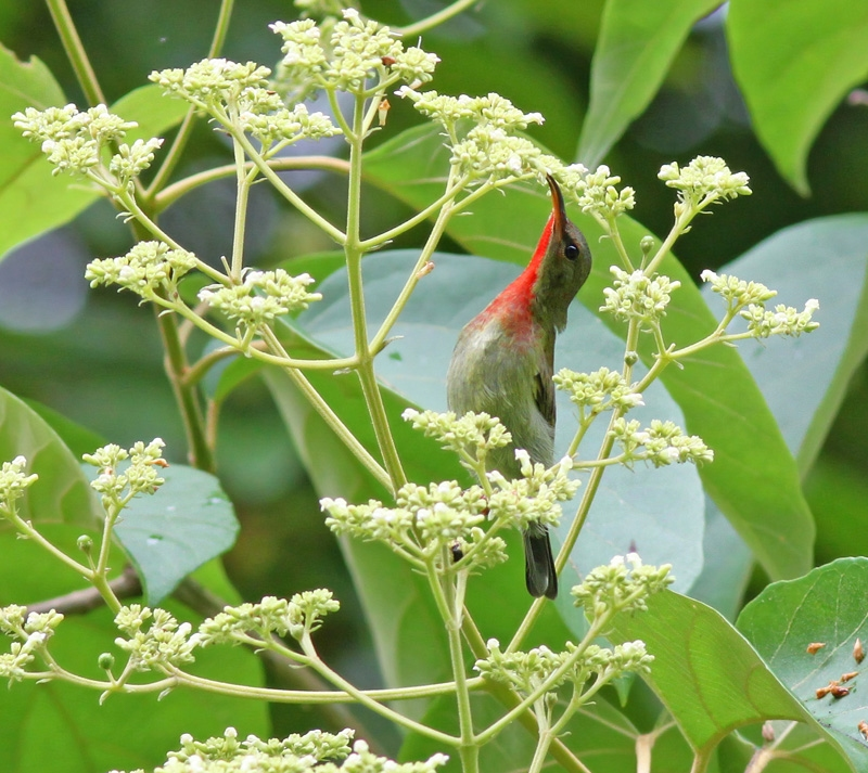 Crimson Sunbird (either immature male or adult male in eclipse plumage)