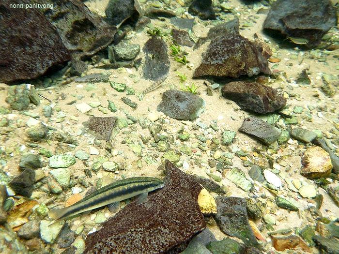 crosso.jpg ไม่รู้ชื่อปลาอะไรเรียกชื่อไฟล์มันตามพฤติกรรมที่เหมือน Crossocheilus ของบ้านเรา