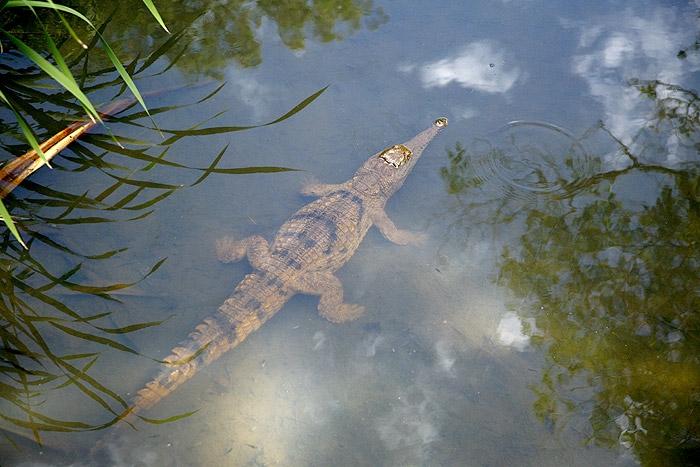 จระเข้น้ำจืดออสเตรเลีย Crocodylus johnstoni