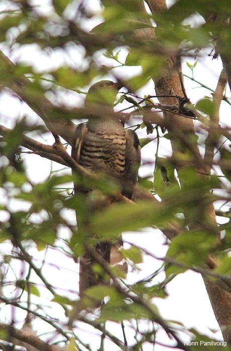 cuckoo1.jpg