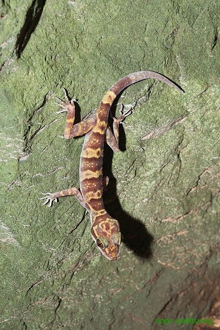 ตุ๊กกายปล้องทอง (Cyrtodactylus auribalteatus) ประชากรยังปกติดี