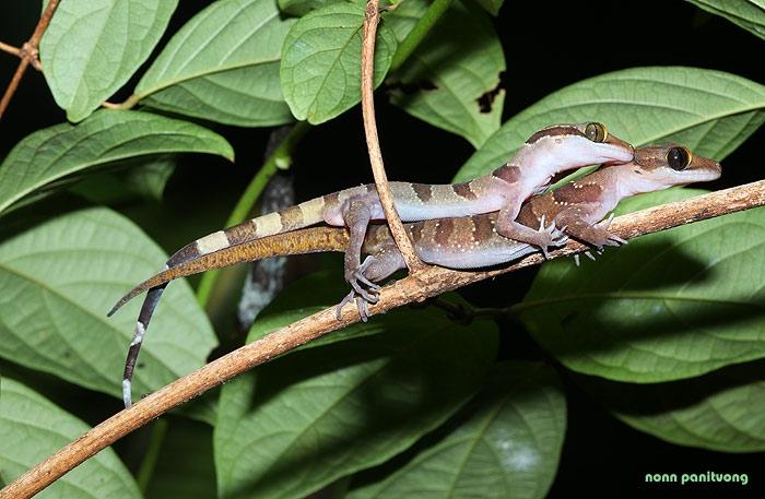 cyrtodactylus_intermedius.jpg