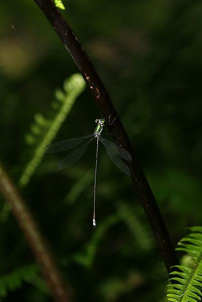 แมลงปอเข็มที่ว่า