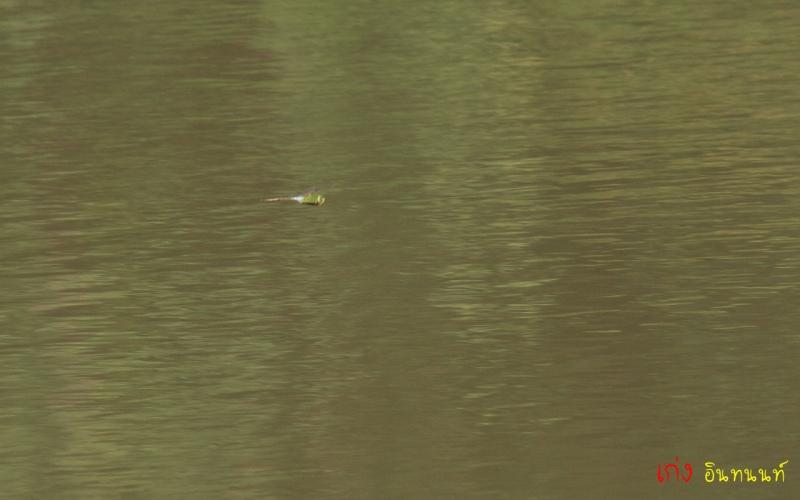 3 (เจ้าตัวนี้ Blue-tailed Green Darner ใช้มั้ย เห็นเหมือนในหนังสือแมลงปอ)