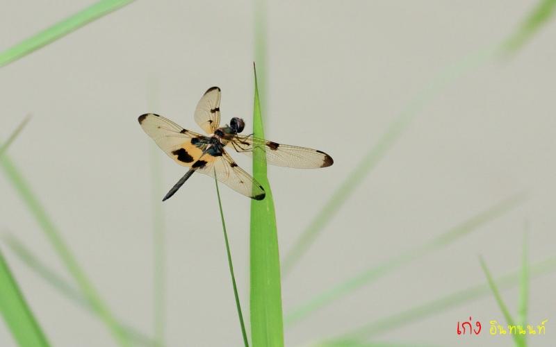 4 (แมลงปอบ้านปีกเหลืองดำ) ใช้มั้ยครับ