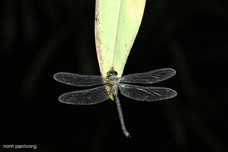 dragonfly_giant.jpg