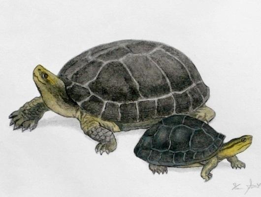 Freshwater_Turtle