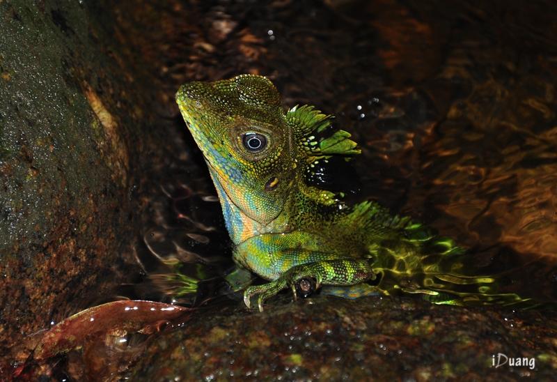 Great Anglehead Lizard.