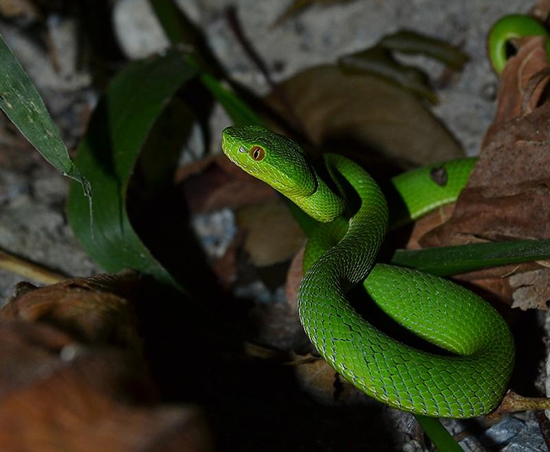 งูเขียวหางไหม้ท้องเขียว