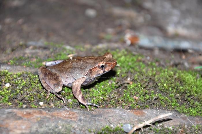 Lesser Stream Horned Frog