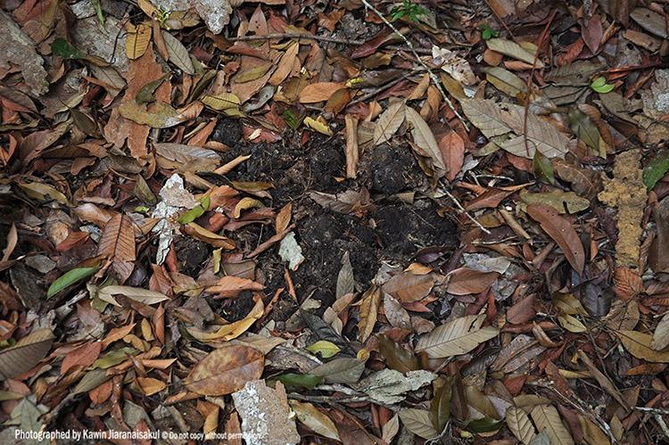 Tapir's dung.