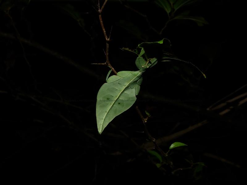 ตั๊กแตนใบไม้ Phyllium sp.