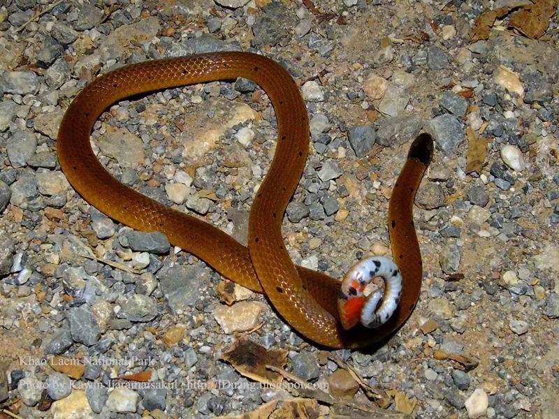 งูปล้องหวายหัวดำ Calliophis maculiceps