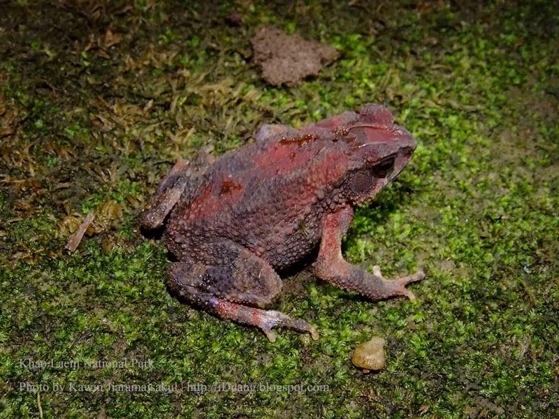 คางคกแคระ Ingerophrynus parvus