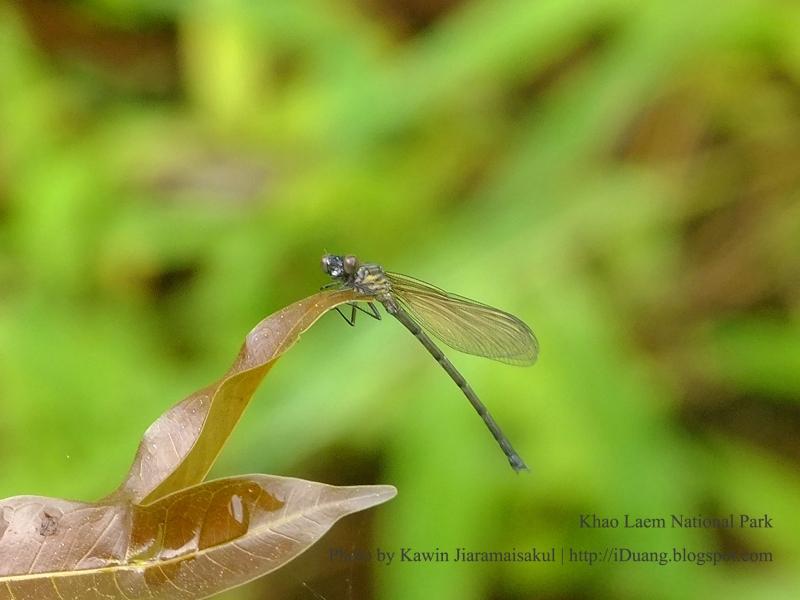 แมลงปอเข็มน้ำตกสีตาลแดง Euphaea ochracea